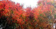 天ヶ瀬の紅葉